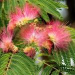selyemakác virág