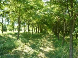 Akác erdő